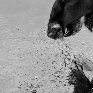 B02 Wildebeest stampede